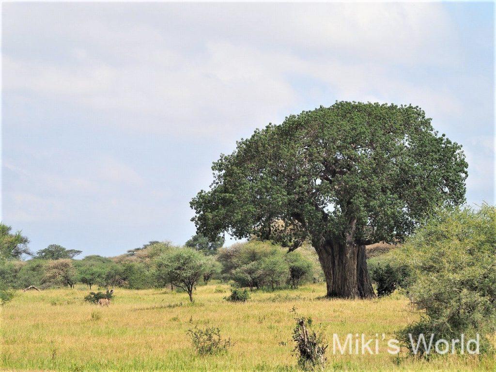 ライオンはどこにいるでしょう? タランギーレ国立公園のバオバブとライオン