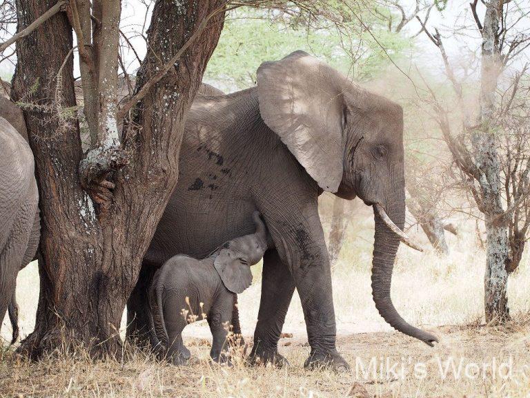 アフリカゾウのおっぱいはわきの下