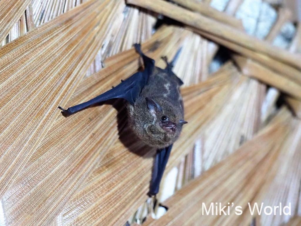 コウモリ Whit-lined sac-winged bat