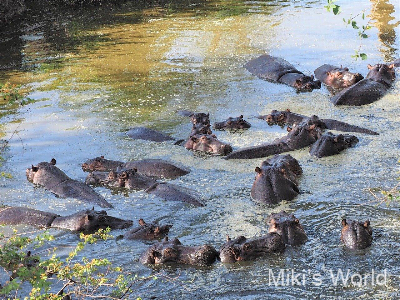 セレンゲティ国立公園のカバの群れ