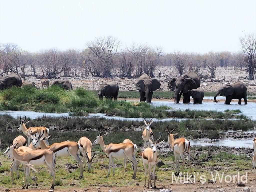 水場に入って水を飲むアフリカゾウと手前のスプリングボック