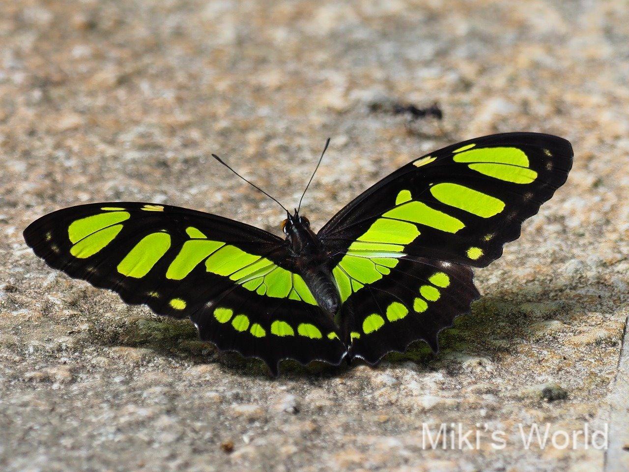 ペルーのチョウ
