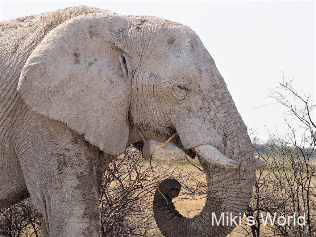 白いアフリカゾウ