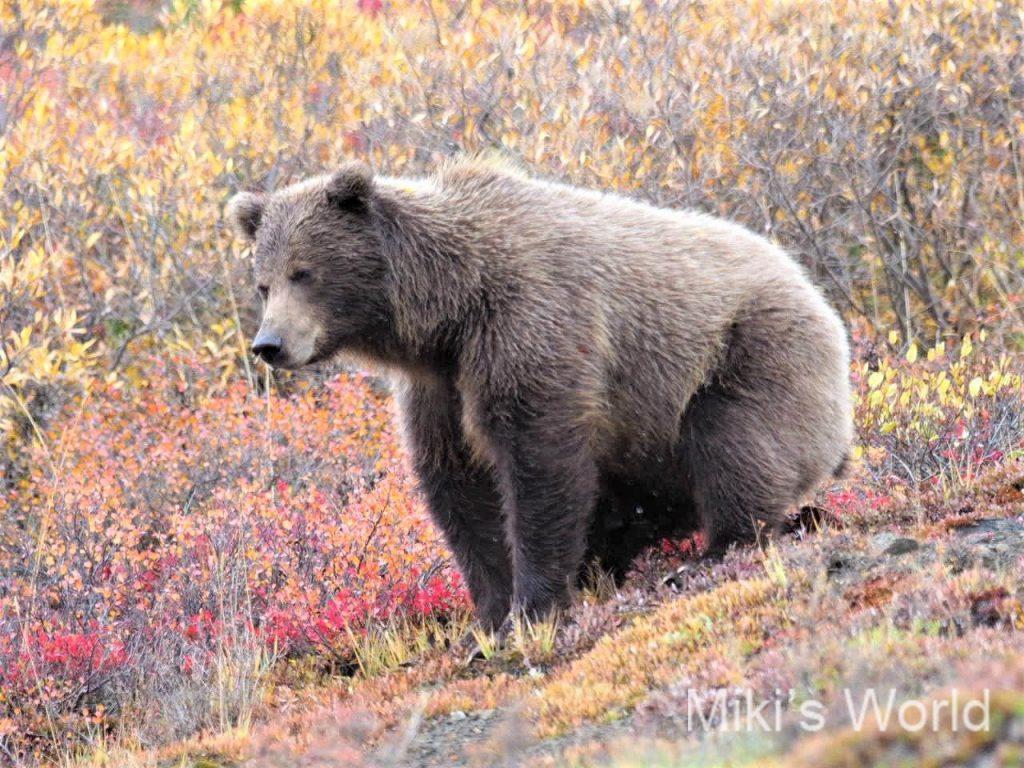 ブログ写真集 アラスカ 秋のデナリ国立公園のグリズリー(ハイイログマ)