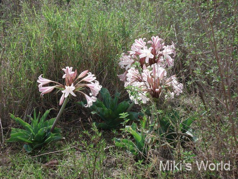タンザニアの花