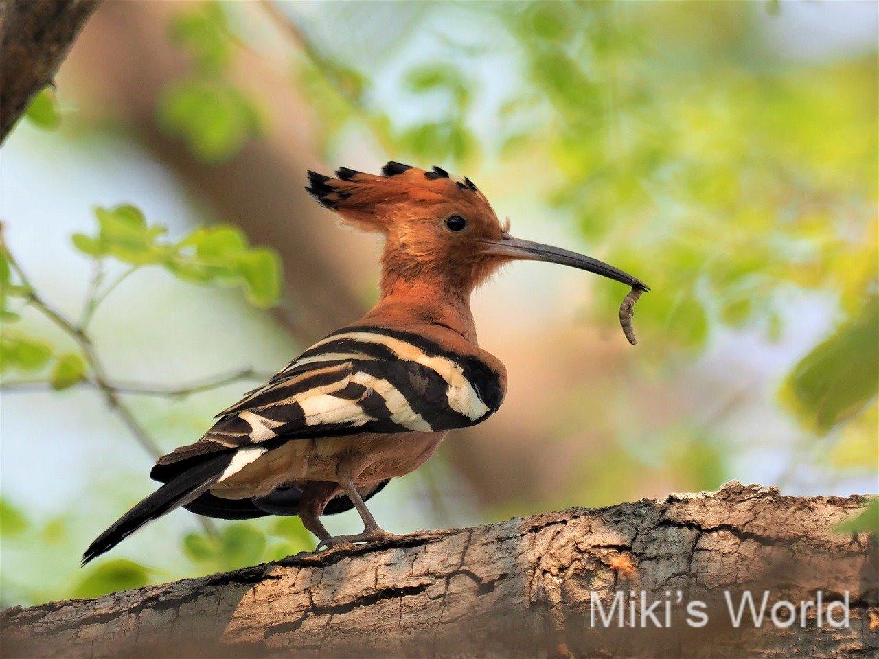 アフリカヤツガシラ 頭の羽が扇のようにひらく人気の鳥 思い出の鳥