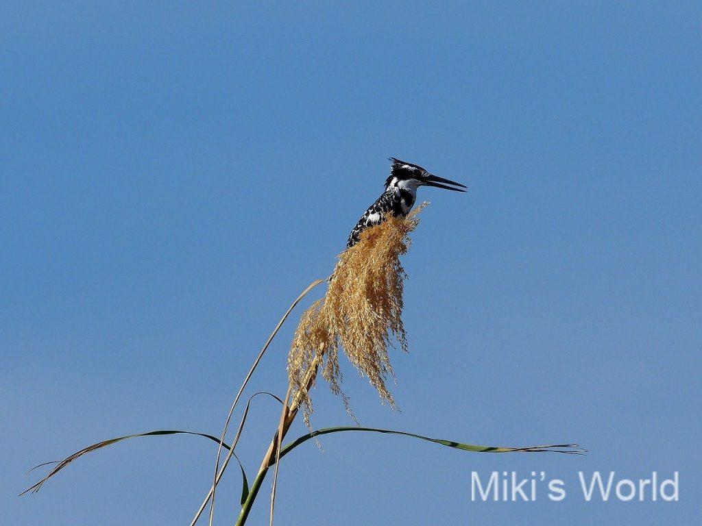 ヒメヤマセミ Pide Kingfisher