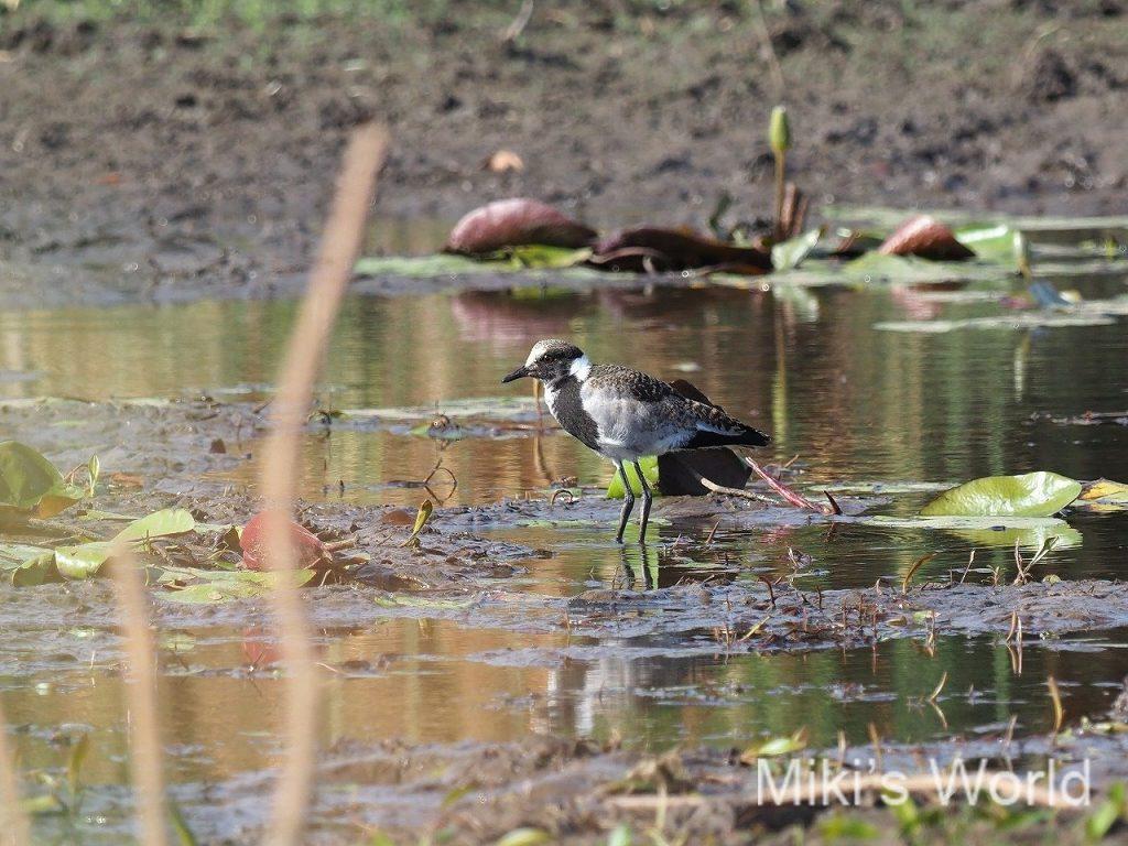 シロクロゲリ幼鳥
