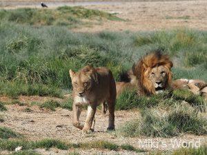 ブログ写真集 動きのあるライオン観察 ナミビア エトーシャ国立公園