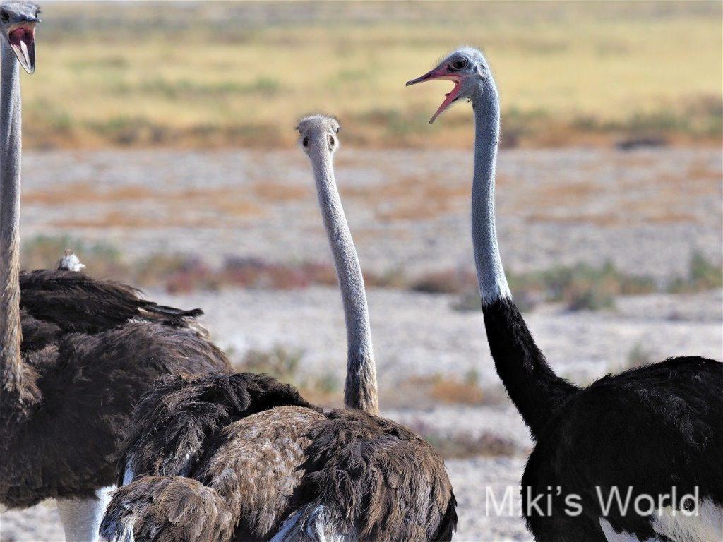 アフリカで見るダチョウはとても美しい 2種いて、よくいるのはCommon Ostrich