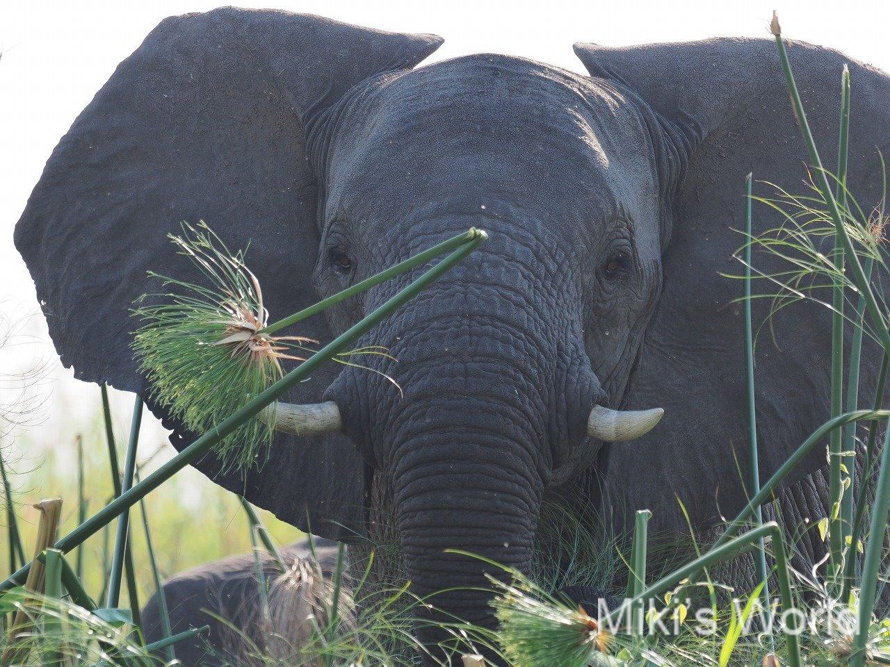 国立公園の外で暮らすアフリカゾウ 川岸のパピルスを食べる