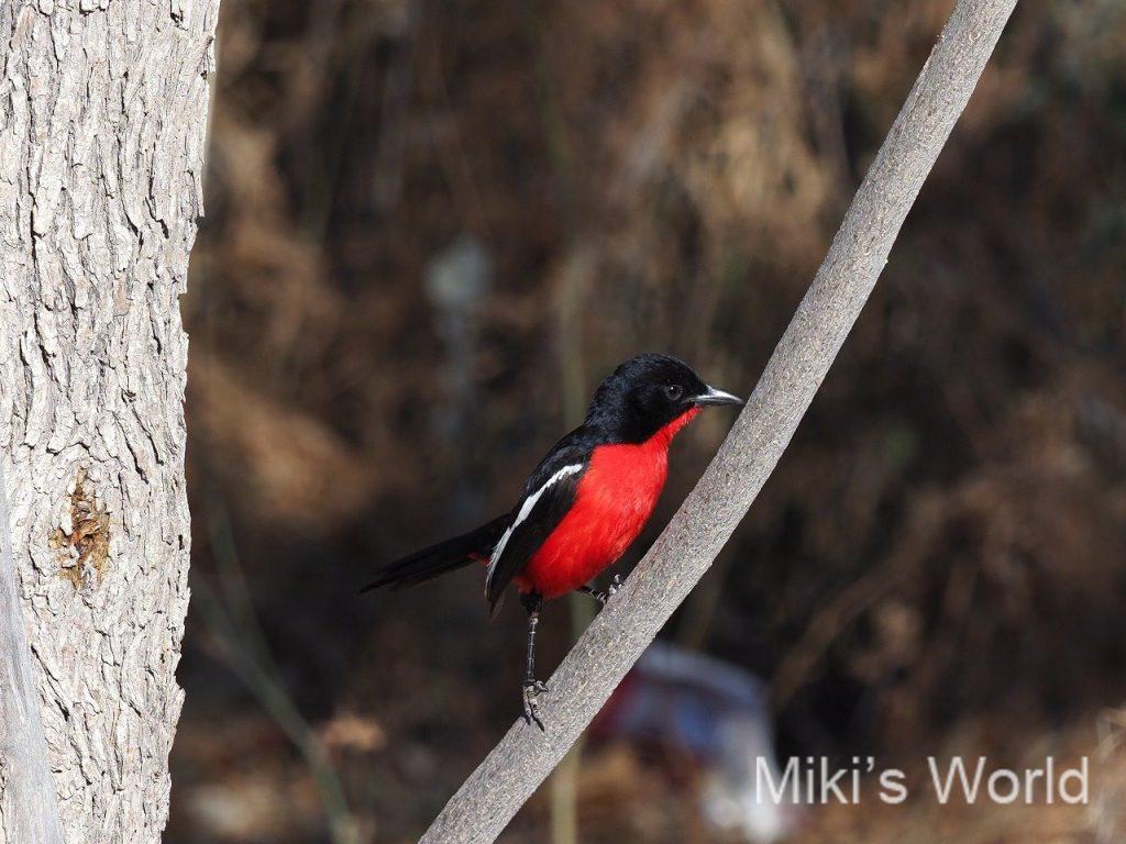 ハジロアカハラヤブモズは、ナミビアの国鳥 日本の国鳥は知ってますか?