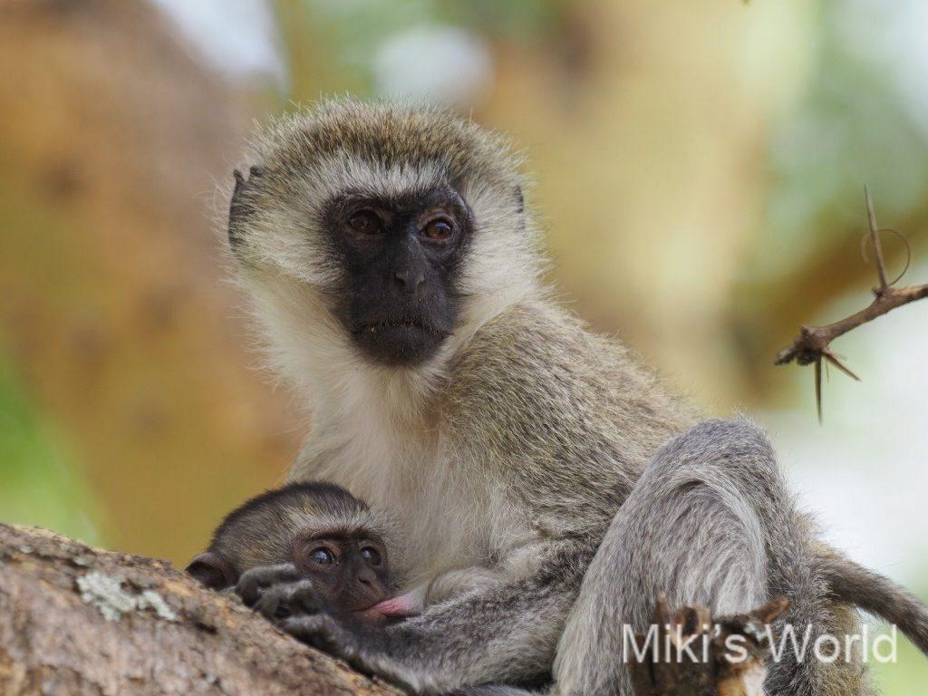 サバンナモンキー Vervet Monkey