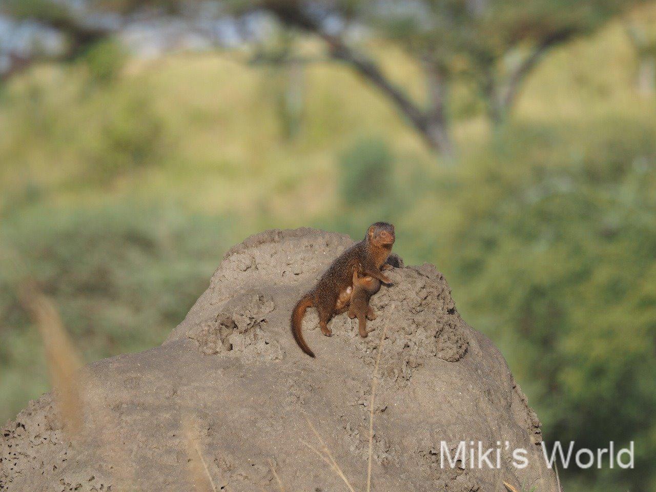 コビトマングース Dwarf Mongoose