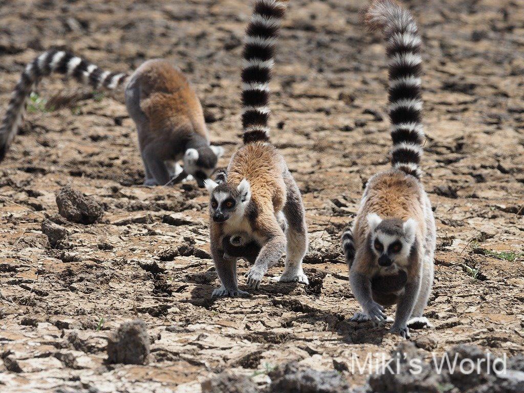 ワオキツネザル Ring-tailed Lemur