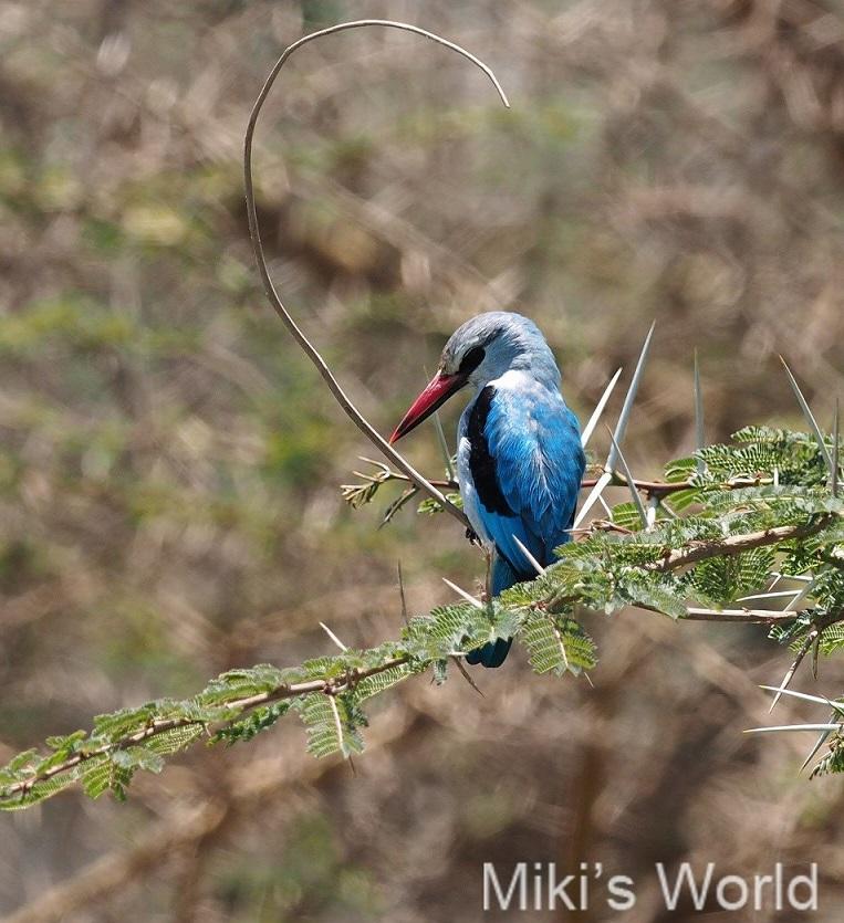 セネガルショウビン Woodland Kingfisher