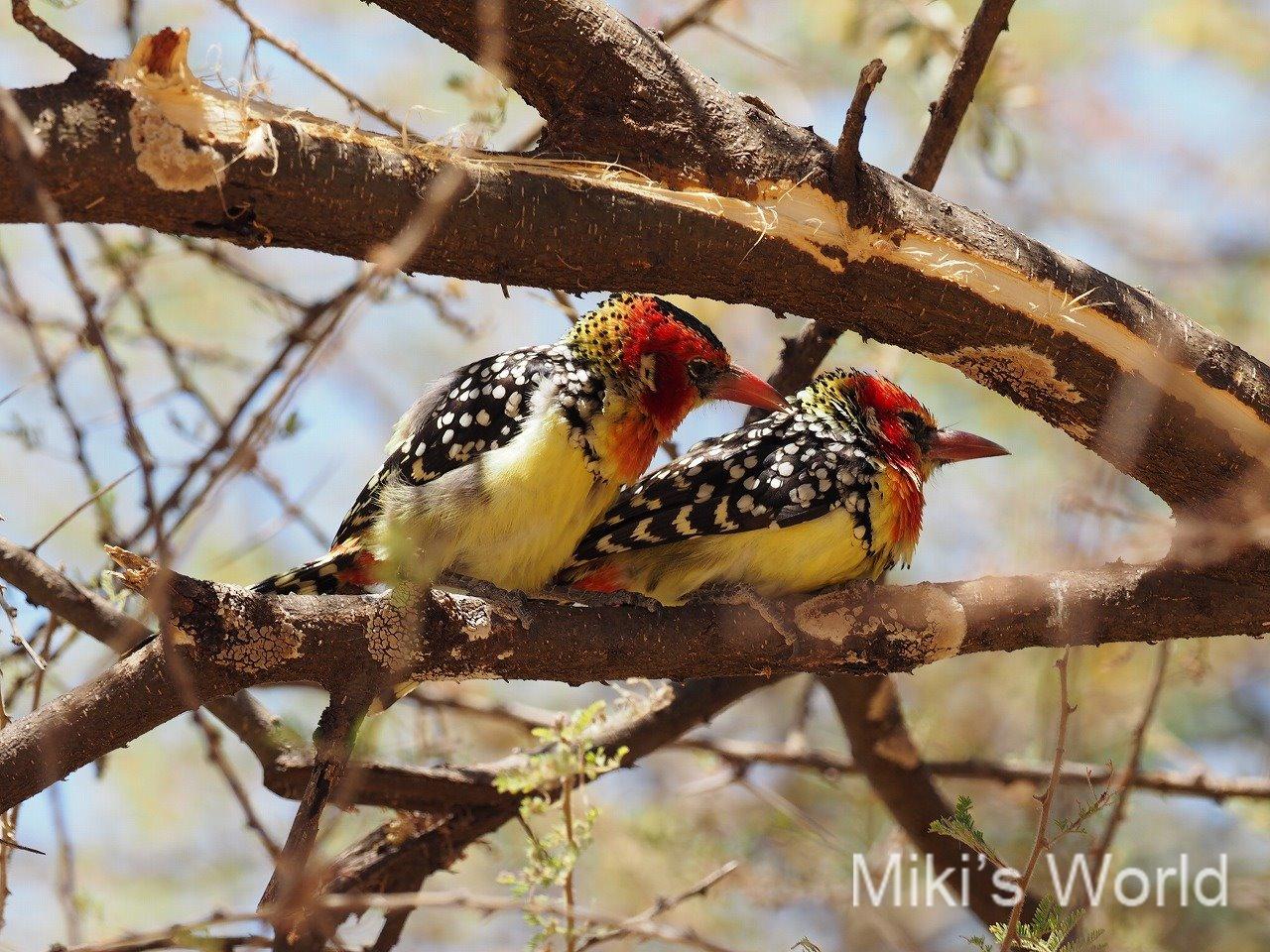 ホオアカオナガゴシキドリ Red-and Yellow Barbet