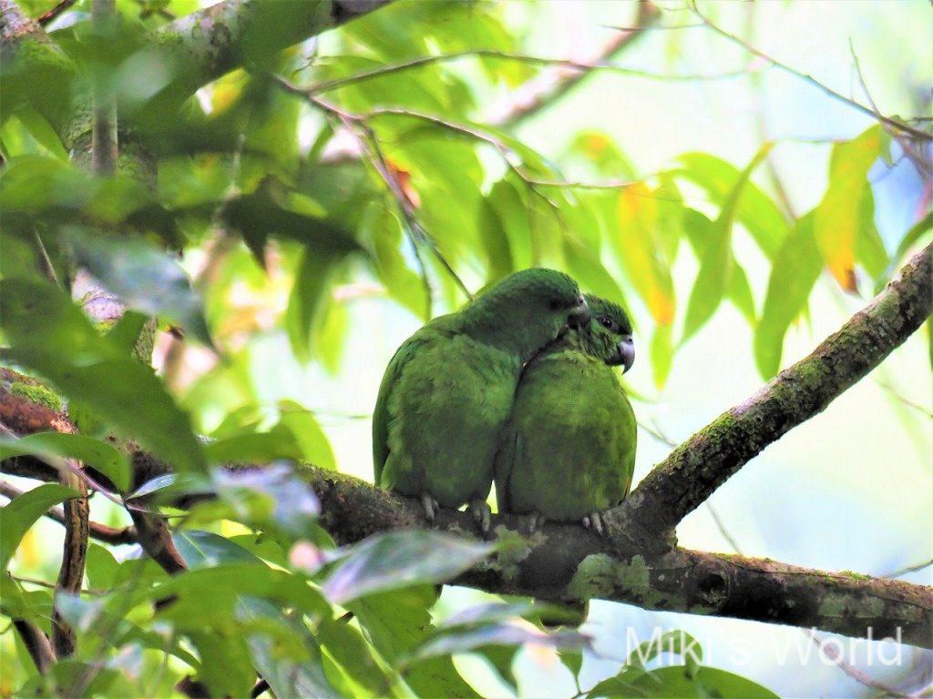 ハシグロボウシインコ Black-billed Parrot