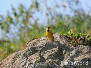 キムネツメナガタヒバリ Yellow-throated Longclaw