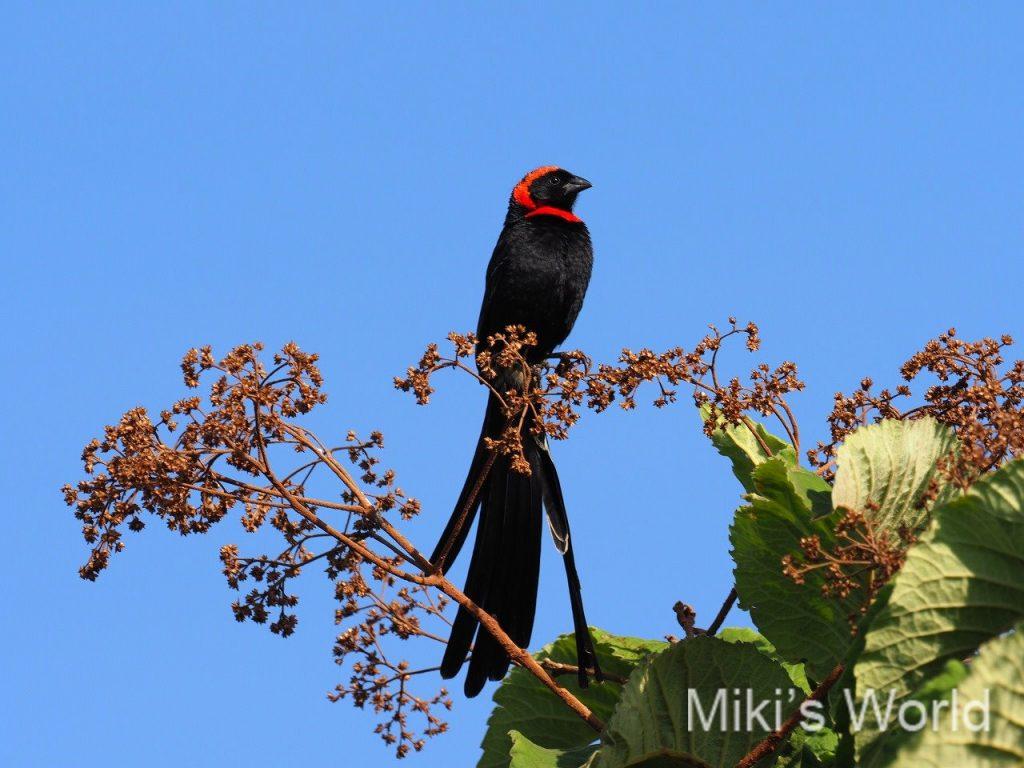アカエリホウオウ Red-collared Widowbird