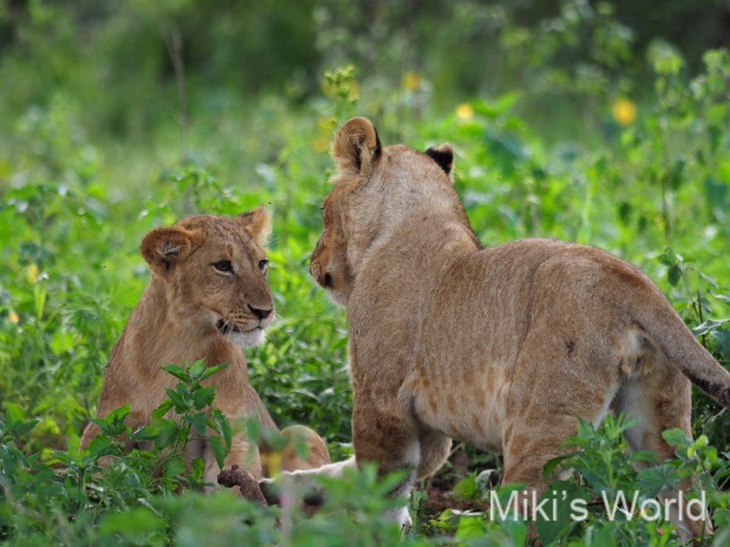 ライオン Lion
