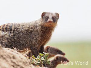 シママングース Banded Mongoose