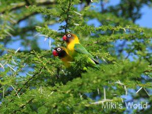 キエリボタンインコ Yellow-collared Lovebird
