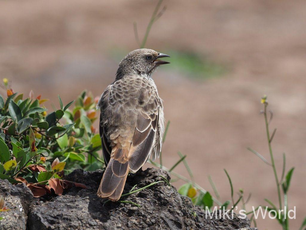 クリオオニハタオリ Rufous-tailed Weaver