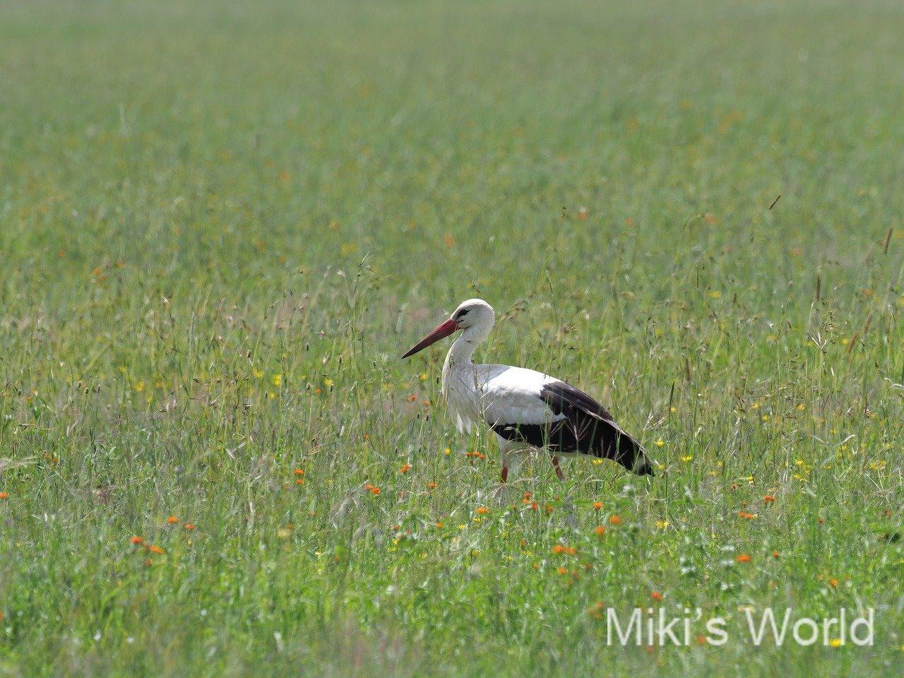 シュバシコウ White Stork