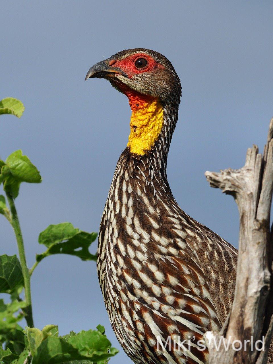 ハゲノドシャコ Yellow-necked Spurfowl
