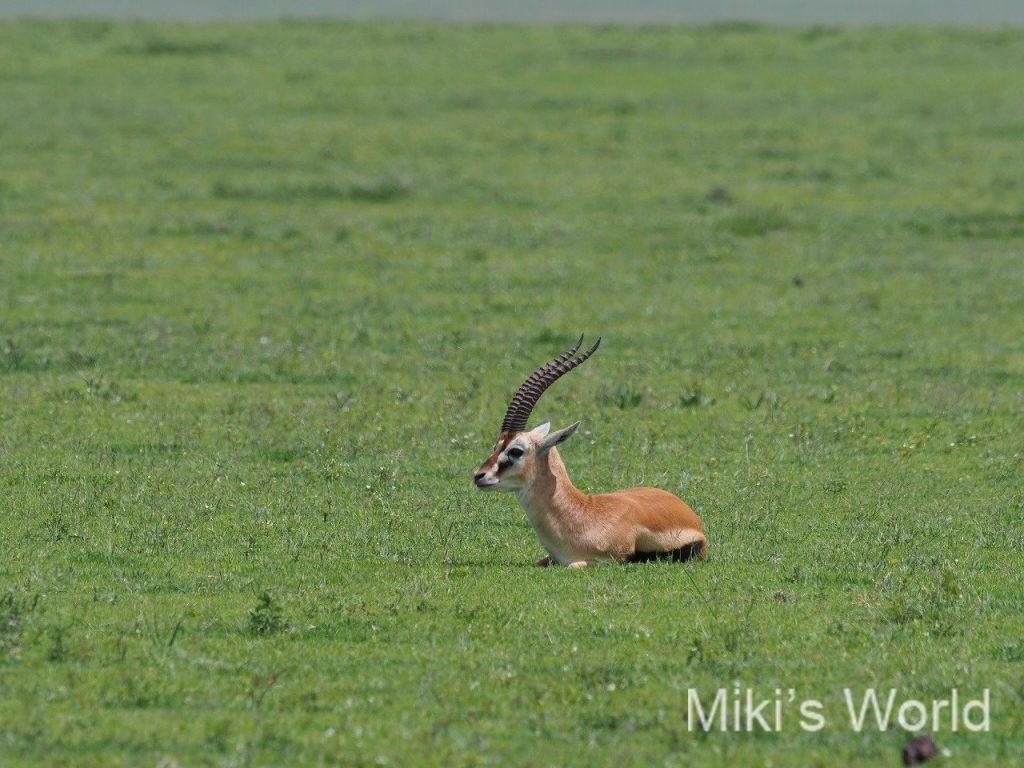 トムソンガゼル Thomson's Gazelle