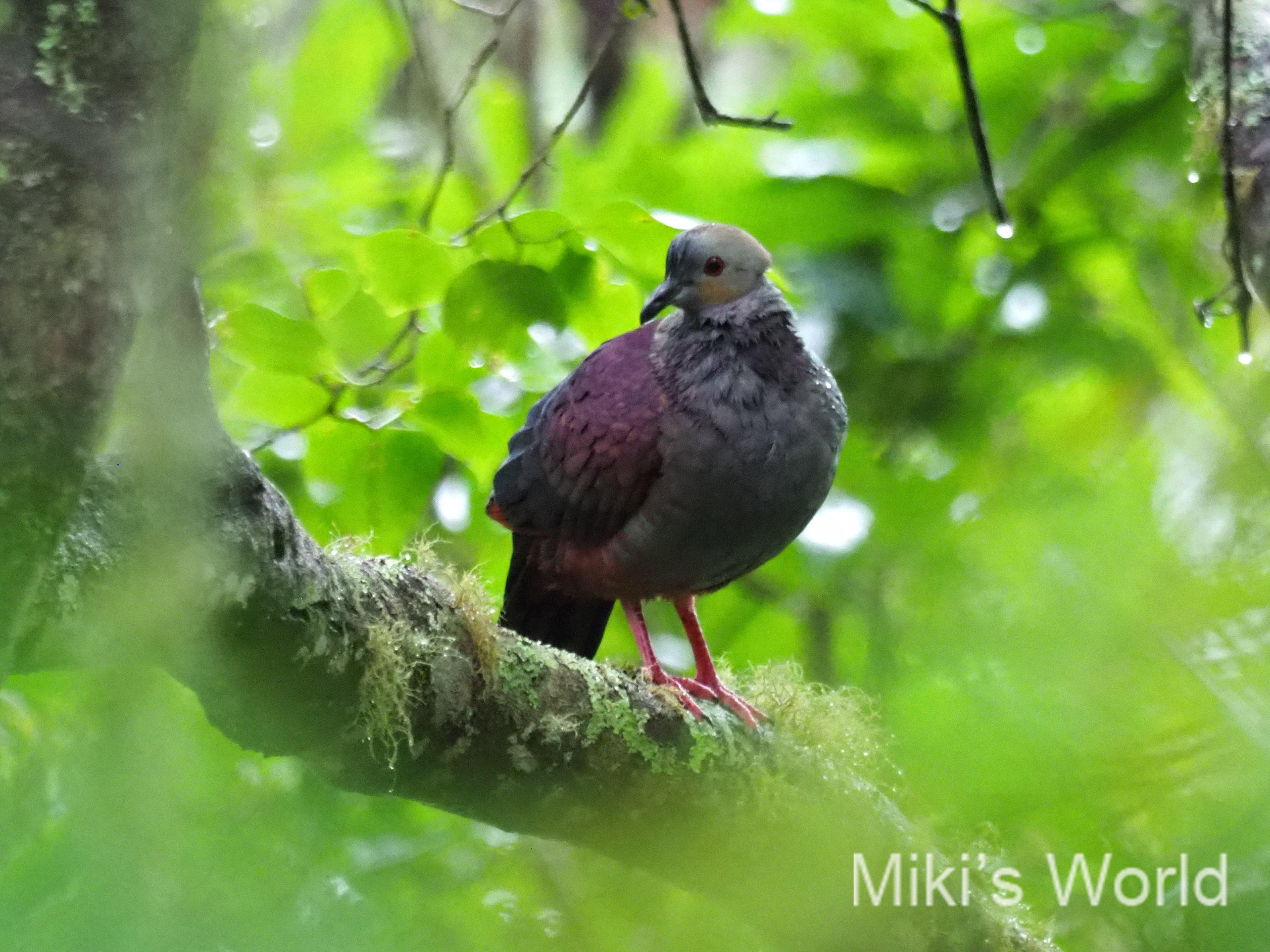 ハトって実はすごいんです! 飛翔力が強いから島に多い ジャマイカハト物語