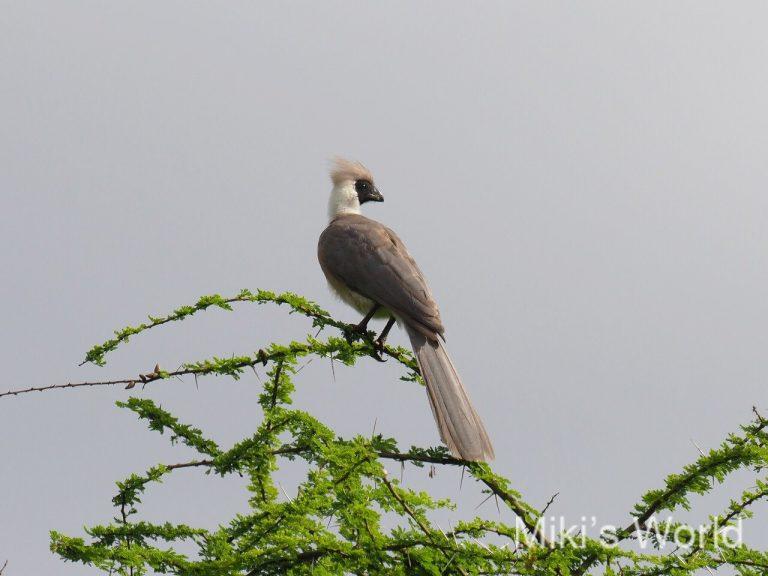 クロガオハイイロエボシドリ