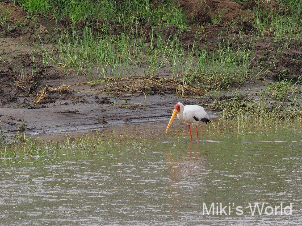 鳥の識別をしたいと真剣に思った日 ベトナムのコウノトリはコサギだった