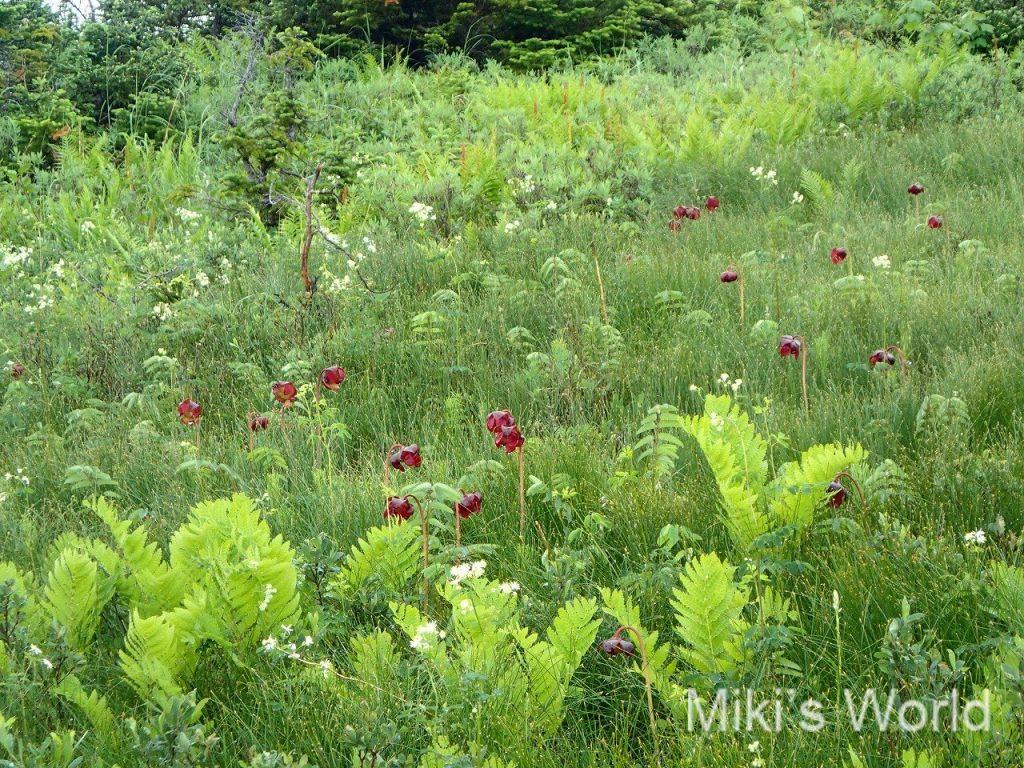 ボルネオのマリアウベイスンで食虫植物を見て、北米の食虫植物を思い返し感じた事