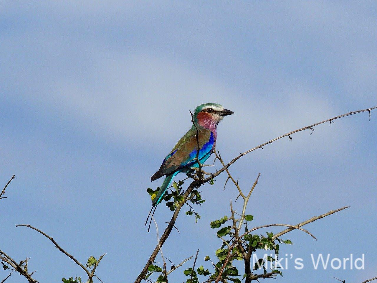 ラケットニシブッポウソウ Racket-tailed Roller  タンザニア南部で観察