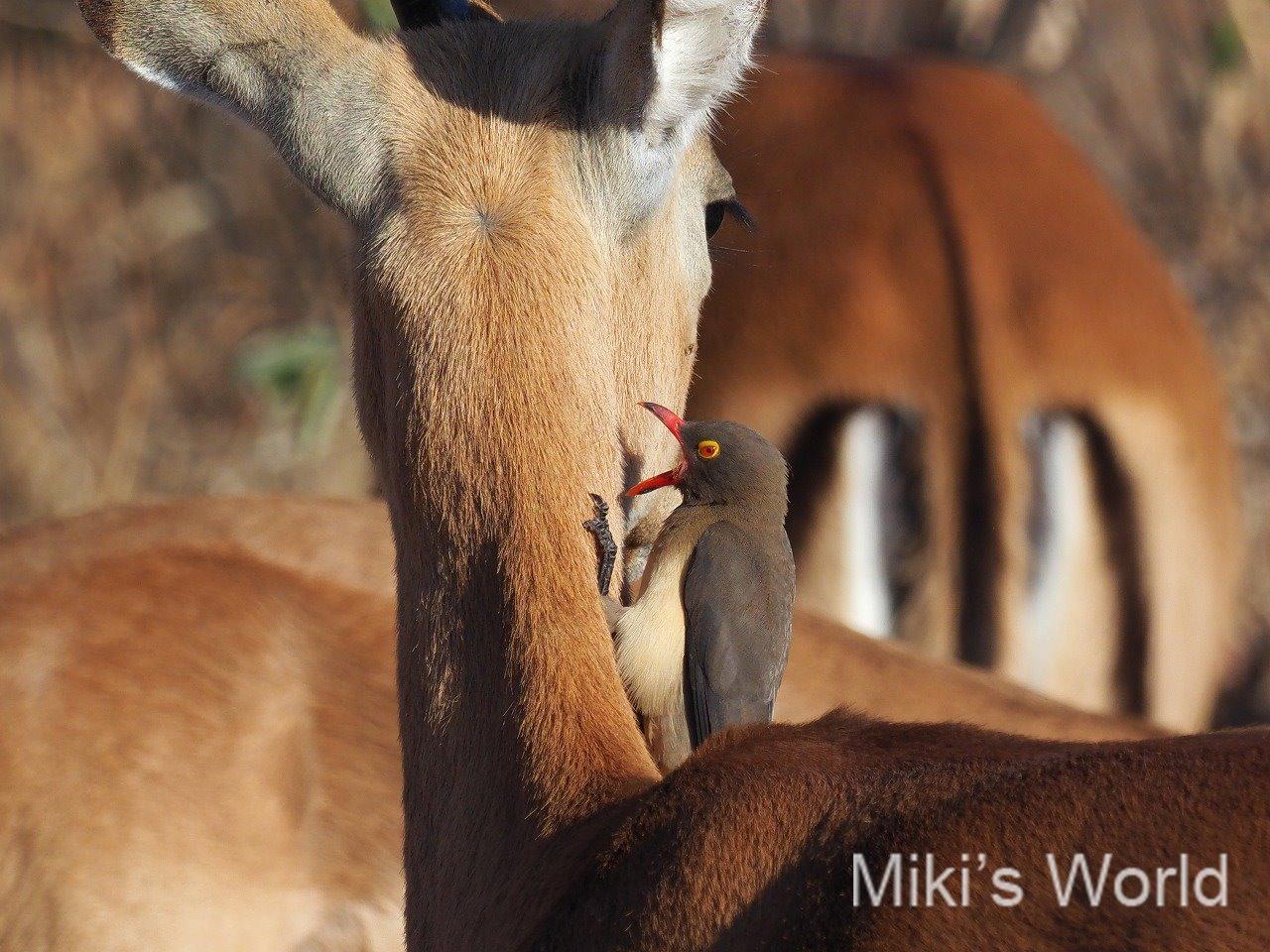 ブログ写真集 南部タンザニア ルアハ国立公園 ミクミ国立公園 セルー猟銃保護区