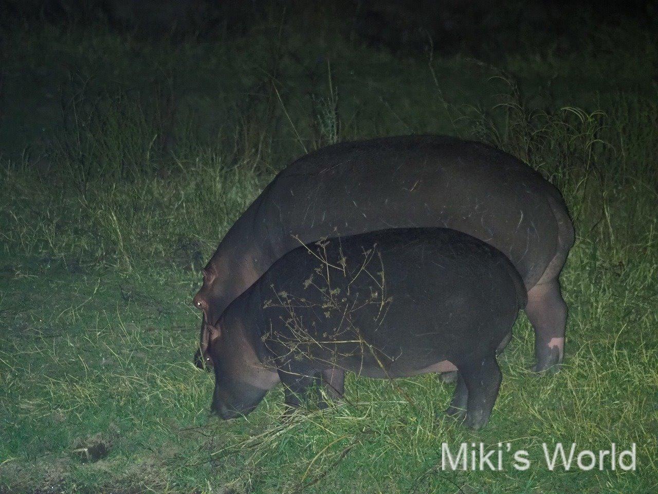 タンザニア南部 ルアハ国立公園からおやすみなさい!