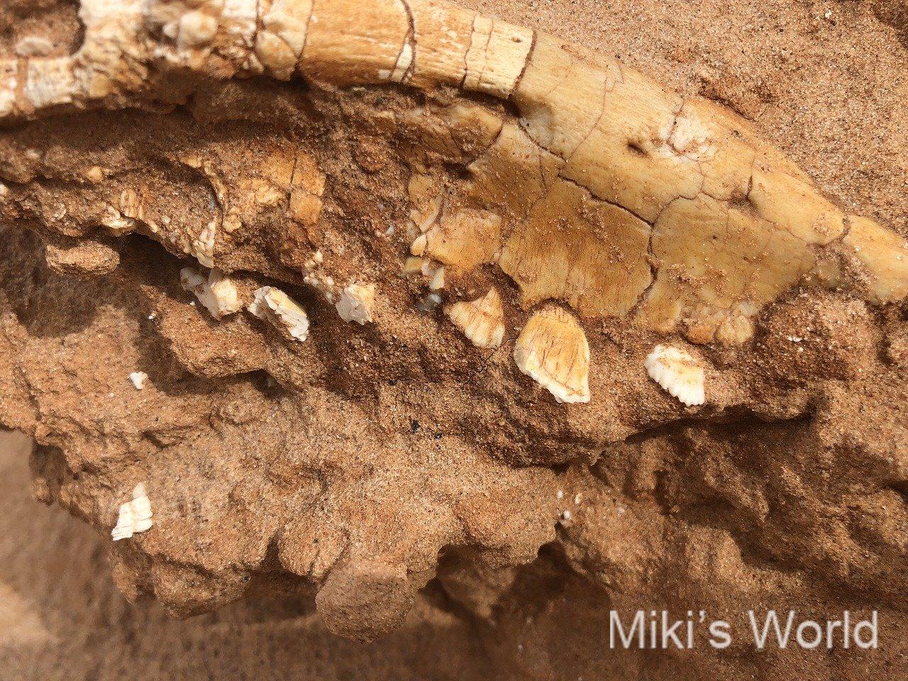 モンゴル・南ゴビのバヤンザグ 恐竜プロトケラトプスの化石を目の当たりにする!