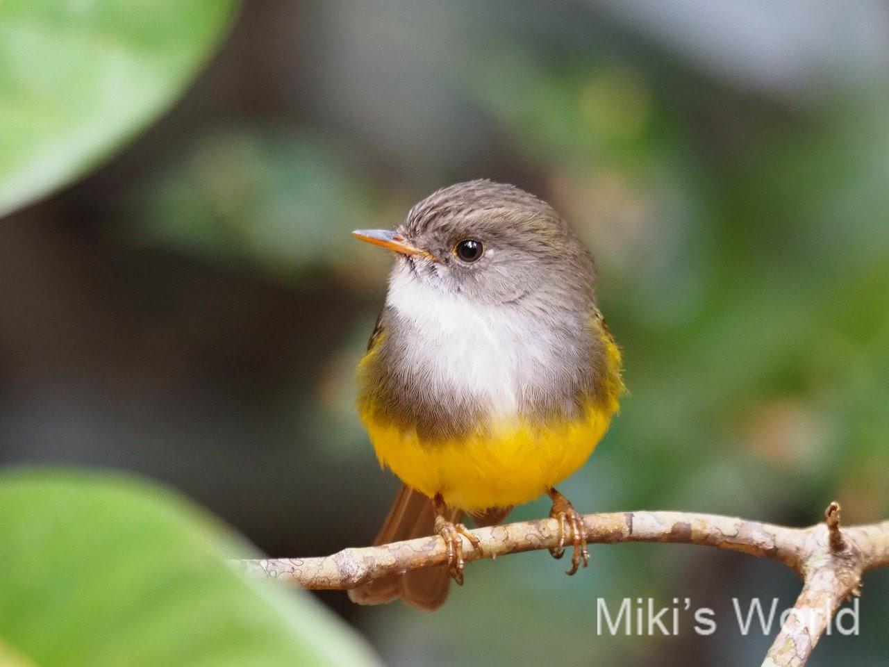 ニューカレドニアの鳥 固有種17種 これからまた増えそう!
