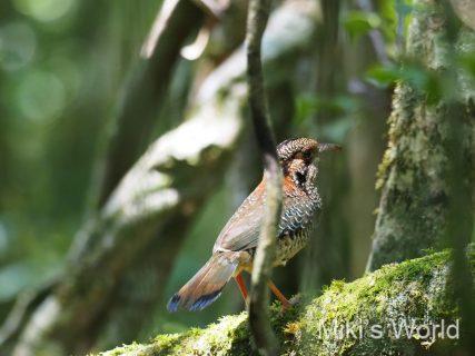 マダガスカルの熱帯雨林の鳥 ウロコジブッポウソウ Scaly Ground-roller スカリーグランドローラー