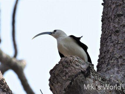 マダガスカルの鳥 大きな長い嘴 ハシナガオオハシモズ Sickle-billed Vanga シックルビルド バンガ