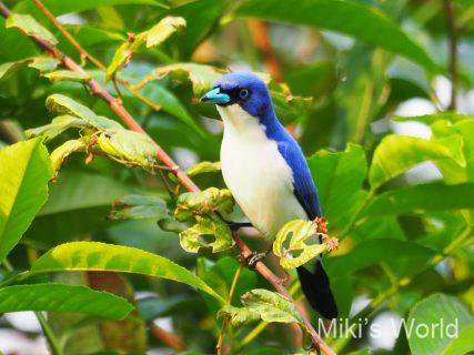マダガスカルの青い青い鳥 Madagascar Blue Vanga(マダガスカル ブルー バンガ)ルリイロマダガスカルモズ