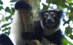 マダガスカルの動物 キツネザルの仲間 インドリ 最も大きな体と声を持つ ★声が聴けます