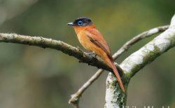 マダガスカルの尾の長い鳥 マダガスカルサンコウチョウ Madagascar Paradaise Flycatcher