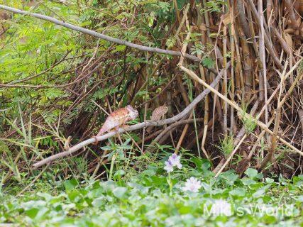 カメレオン交尾 アンカラファンチカ国立公園