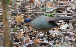 マダガスカルの地面を歩く鳥 アカボウシジカッコウ Red-capped Coua  レッドキャップドクゥーア