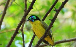 マダガスカルの鳥 Schlegel's Aity  キイロマミヤイロチョウ