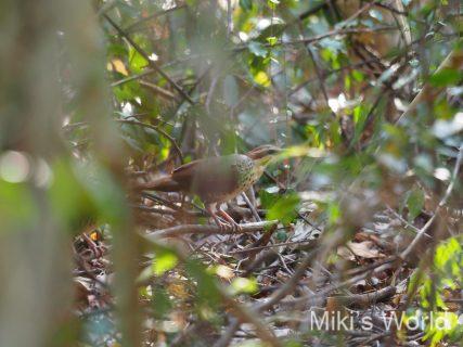 マダガスカルの森を歩く鳥  ムナジロクイナモドキ  White-breasted  Mesite  ホワイト ブレスティッド ミザイト