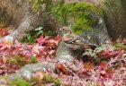 12月上旬の京都 東寺 東福寺 光明寺の紅葉 東福寺でアトリの群れを観察